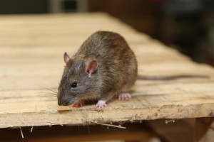 Rodent Control, Pest Control in Elephant & Castle, SE17. Call Now 020 8166 9746