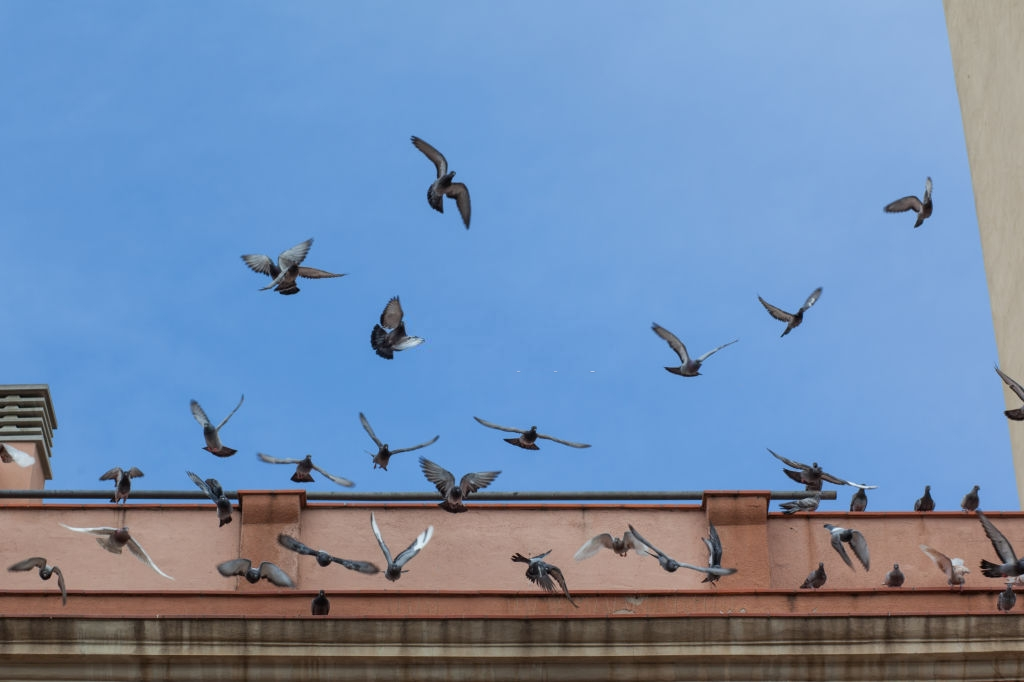 Pigeon Pest, Pest Control in Elephant & Castle, SE17. Call Now 020 8166 9746